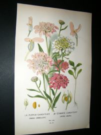 Step 1897 Antique Botanical Print. Purple Candytuft. Common Candytuft